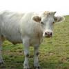 Tuberculose bovine, la France pas si indemne que ça ?