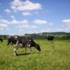 Augmenter la longévité de ses vaches est plus rentable que le renouvellement