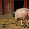 Les éleveurs porcins sont encouragés à se faire vacciner contre la grippe