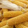 Les Etats européens en désaccord face aux OGM