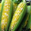 Récolte de maïs français de 2012, la 3ème meilleure campagne de la décennie.