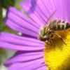 Les apiculteurs en guerre contre le pesticide Cruiser