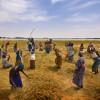 L'agriculture dans le Monde – la récolte du riz au Mali