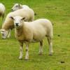 Les moutons crient au loup par sms !