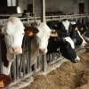 Boiteries des bovins : des maladies à ne pas prendre à la légère